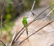 Green Bea Eater near Bangalore India. Stock Photos