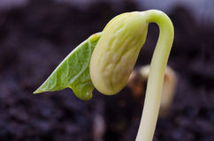 Green bean. Seedling just beginning to open. Macro with shallow dof Stock Images