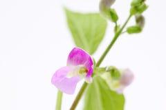 Green bean flower Stock Photos