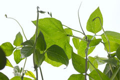 Green bean plant Stock Photos