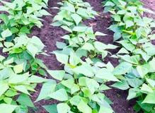 Green bean plants Stock Photography