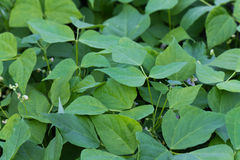 Green bean plants in the garden, close up Royalty Free Stock Photo
