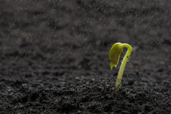 Green bean seed growing out from soil while raining. Green bean seed growing out from soil Stock Photo