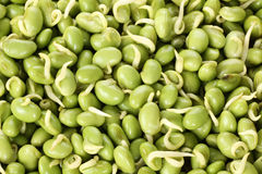 Green bean sprouts Royalty Free Stock Photos