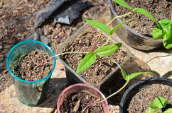 Green bean sprouts growing in pots Stock Photo