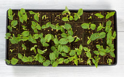 Green bean starter plants ready to plant outside in garden Royalty Free Stock Photo