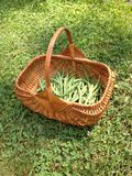 Green beans in basket. Green beans in a basket that were just picked from the garden stock image