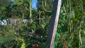 Green beans community garden 4K. UHD stock footage