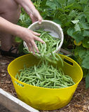 Green Beans Falling into Yellow Container Royalty Free Stock Photo