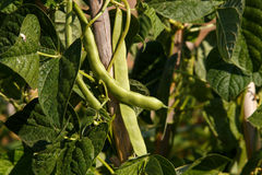 Green beans growing in plant Stock Photo