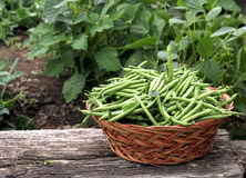 Green beans picked Stock Images
