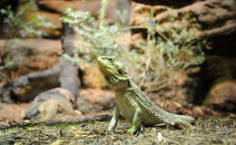 Green bearded dragon Lizard. In the wood royalty free stock photos