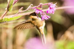 Green-bearded helmetcrest howering next to pink flower, Colombia hummingbird with outstretched wings,hummingbird sucking nectar fr. Om blossom,high altitude stock photos