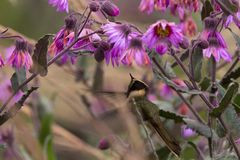 Green-bearded helmetcrest howering next to pink flower, Colombia hummingbird with outstretched wings,hummingbird sucking nectar fr. Om blossom,high altitude royalty free stock photography