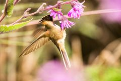 Green-bearded helmetcrest howering next to pink flower, Colombia hummingbird with outstretched wings,hummingbird sucking nectar fr. Om blossom,high altitude royalty free stock images