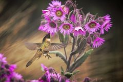 Green-bearded helmetcrest howering next to pink flower, Colombia hummingbird with outstretched wings,hummingbird sucking nectar fr. Om blossom,high altitude royalty free stock photos