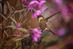 Green-bearded helmetcrest howering next to pink flower, Colombia hummingbird with outstretched wings,hummingbird sucking nectar fr. Om blossom,high altitude stock photography