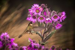 Green-bearded helmetcrest howering next to pink flower, Colombia hummingbird with outstretched wings,hummingbird sucking nectar fr. Om blossom,high altitude royalty free stock photo
