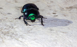 Green beatle Royalty Free Stock Image