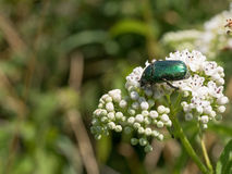Green beautiful beetle  on a white flower in a summer garden Royalty Free Stock Photography