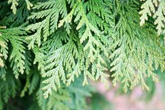 Green beautiful bright twigs of natural larch wood with leaves on a green plant background. Close view Stock Photography