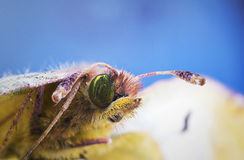 Green beautiful butterfly super macro Royalty Free Stock Photo