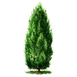 Green beautiful Cypress tree , watercolor illustration on white. Background Stock Image
