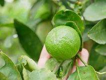 Green fresh lime in a farmer`s hand in a farm being checked for its quality. Green beautiful fresh lime in a farmer`s hand in a farm being checked for its stock photo