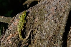 Green beautiful lizard sits on the root of a pine, closeup. View from above stock images