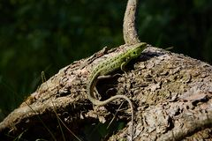 Green beautiful lizard sits on the root of a pine, closeup. View from above stock image