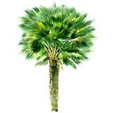 Green beautiful palm tree isolated on white background Stock Photo