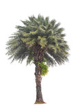 Green beautiful palm tree Royalty Free Stock Images