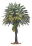 Green beautiful palm tree Royalty Free Stock Photo