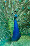 Green beautiful peacock royalty free stock image