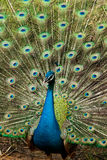 Green beautiful peacock. In thailand Royalty Free Stock Photography