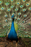 Green beautiful peacock. In thailand Royalty Free Stock Photo