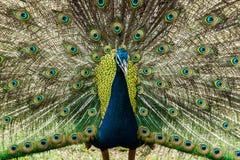 Green beautiful peacock Stock Photography