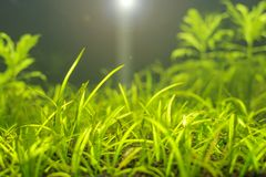 A green beautiful planted tropical freshwater aquarium with lens flare. Aquatic plant stock image