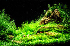 Green beautiful planted tropical freshwater aquarium Royalty Free Stock Image