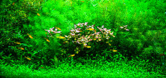 A green beautiful planted tropical freshwater aquarium with smal Royalty Free Stock Photos