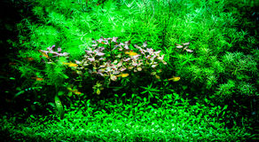 Green beautiful planted tropical freshwater aquarium with small Royalty Free Stock Photos