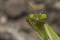 Green beautiful praying mantis Royalty Free Stock Images