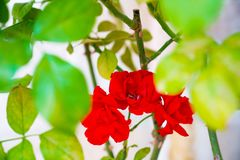 Red rose blooming in the garden in spring royalty free stock images