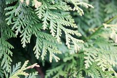 Green beautiful twigs of natural larch wood with leaves on a green plant background. Close view Stock Photos
