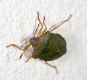 Green a bedbug on the white wall Royalty Free Stock Photos