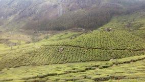 Tea Estate royalty free stock photo