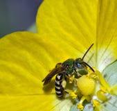 Green Bee. Macro green bee feeding on yellow sunflower Stock Photos