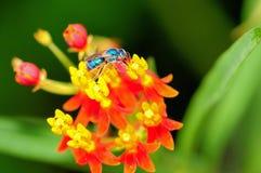 Green bee (Agapostemon) Stock Photos