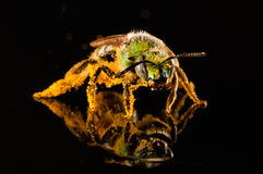 Green bee covered with pollen Stock Photo