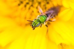Green bee discovering yellow. Metallic green sweat bee (Agapostemon texanus) on a yellow flower Stock Photo